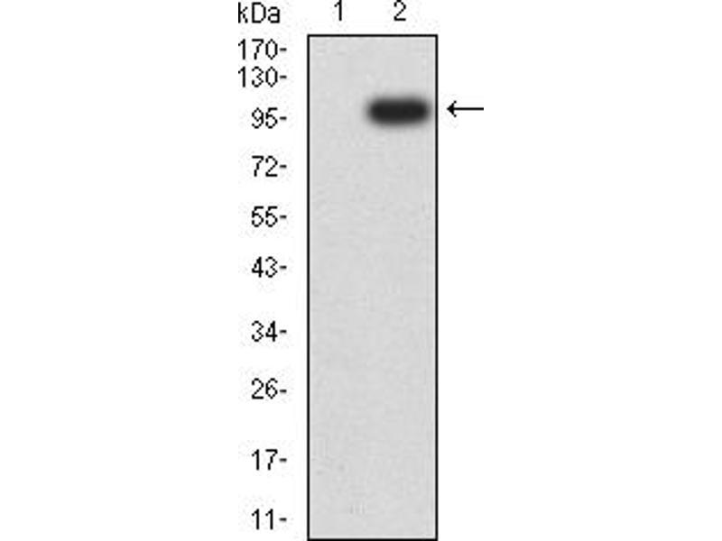 Image no. 1 for anti-Neuropilin 1 (NRP1) (AA 22-644) antibody (ABIN5611190)