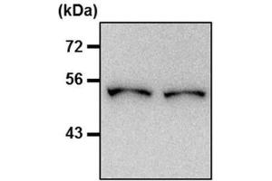 Western Blotting (WB) image for anti-Tubulin, beta (TUBB) (N-Term) antibody (ABIN4284184)