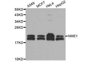 Western Blotting (WB) image for anti-Non-Metastatic Cells 1, Protein (NM23A) Expressed in (NME1) (C-Term) antibody (ABIN3020815)