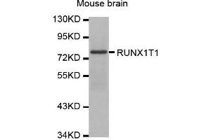 Image no. 1 for anti-Runt-Related Transcription Factor 1, Translocated To, 1 (Cyclin D-Related) (RUNX1T1) antibody (ABIN1679768)
