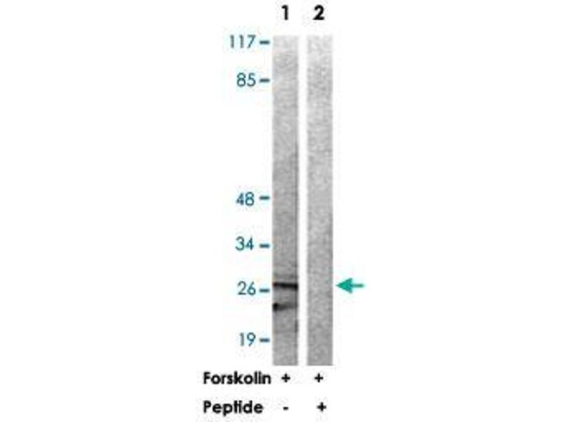 Image no. 1 for anti-Tyrosine 3-Monooxygenase/tryptophan 5-Monooxygenase Activation Protein, zeta Polypeptide (YWHAZ) antibody (ABIN5591097)