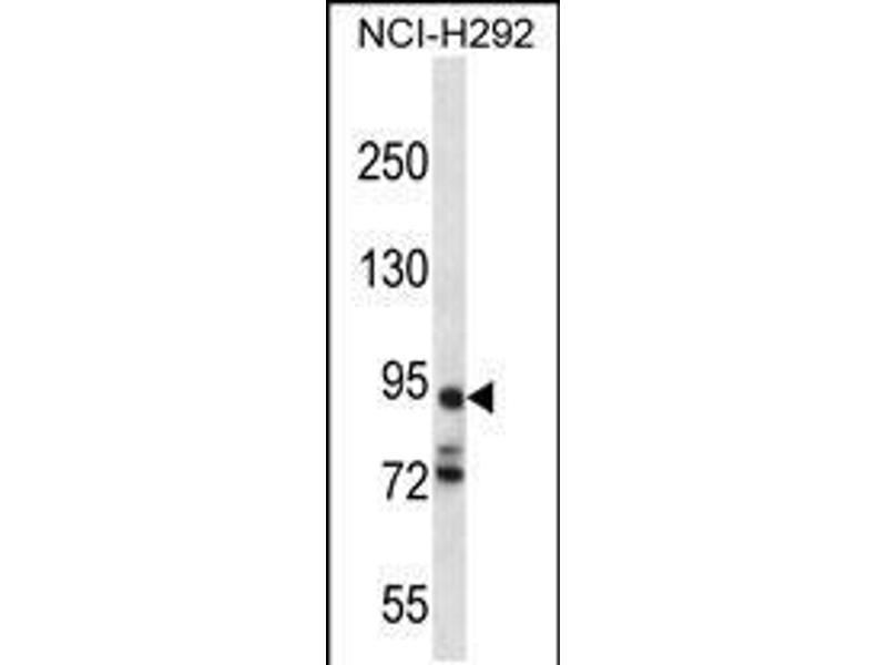 Image no. 1 for anti-Protocadherin alpha 7 (PCDHA7) (AA 272-300) antibody (ABIN5532666)