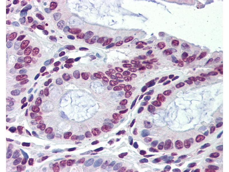 Immunohistochemistry (IHC) image for anti-Nuclear Receptor Subfamily 1, Group H, Member 3 (NR1H3) (C-Term) antibody (ABIN6741573)