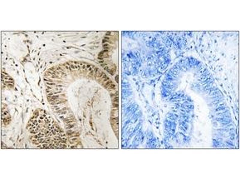 Immunohistochemistry (IHC) image for anti-Regulator of G-Protein Signaling 1 (RGS1) (AA 118-167) antibody (ABIN1535285)
