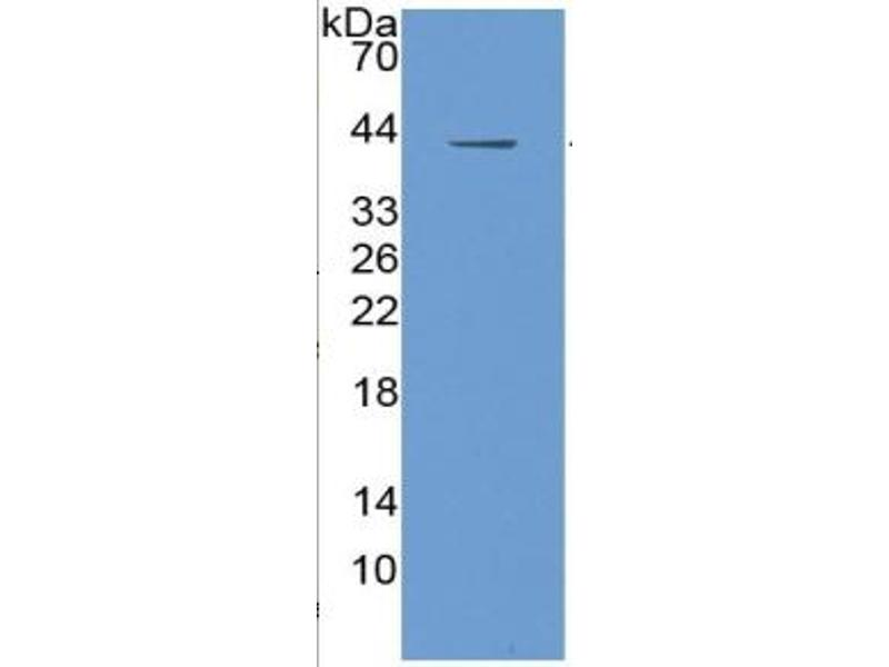 Insulin-Like Growth Factor 1 (IGF1) ELISA Kit (2)