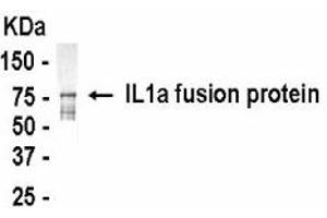 Western Blotting (WB) image for anti-IL1A antibody (Interleukin 1 alpha) (AA 1-271) (ABIN2467843)