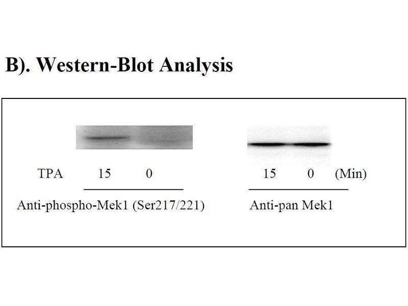 Mitogen-Activated Protein Kinase Kinase 1 (MAP2K1) ELISA Kit (4)