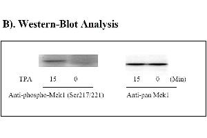 image for MAP2K1 ELISA Kit (Mitogen-Activated Protein Kinase Kinase 1) (ABIN1981724)