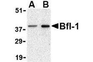 Image no. 2 for anti-BCL2-Related Protein A1 (BCL2A1) (N-Term) antibody (ABIN499453)