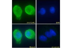 Image no. 1 for anti-Complement Component 5a Receptor 1 (C5AR1) (C-Term) antibody (ABIN5539670)