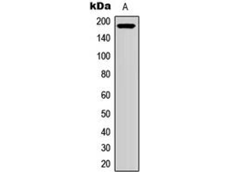 Western Blotting (WB) image for anti-Ret Proto-Oncogene (RET) (C-Term) antibody (ABIN2705184)