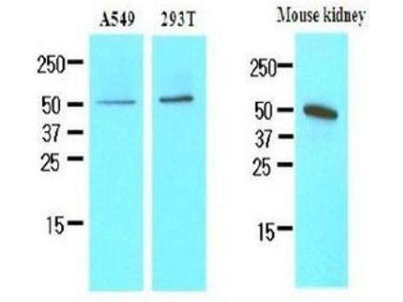 Western Blotting (WB) image for anti-Chromogranin A (CHGA) (AA 19-131) antibody (ABIN449786)