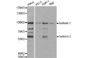 Image no. 1 for anti-Ubiquitin-Like with PHD and Ring Finger Domains 2, E3 Ubiquitin Protein Ligase (UHRF2) antibody (ABIN3023235)