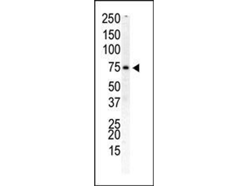 Western Blotting (WB) image for anti-PIP5K1B Antikörper (Phosphatidylinositol-4-Phosphate 5-Kinase, Type I, beta) (AA 1-30) (ABIN392594)