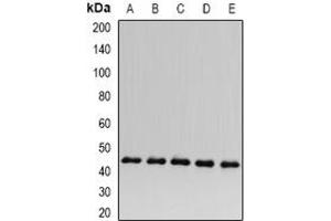 Image no. 2 for anti-Acyl-CoA Dehydrogenase, C-2 To C-3 Short Chain (Acads) (full length) antibody (ABIN6004414)