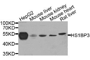 Image no. 4 for anti-HCLS1 Binding Protein 3 (HS1BP3) antibody (ABIN6141991)