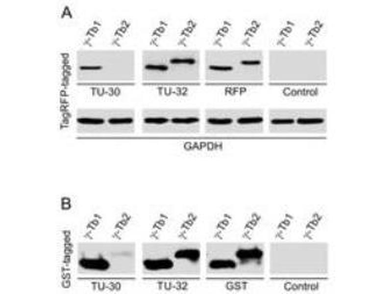 Western Blotting (WB) image for anti-Tubulin, gamma 1 (TUBG1) (AA 434-449) antibody (ABIN409958)