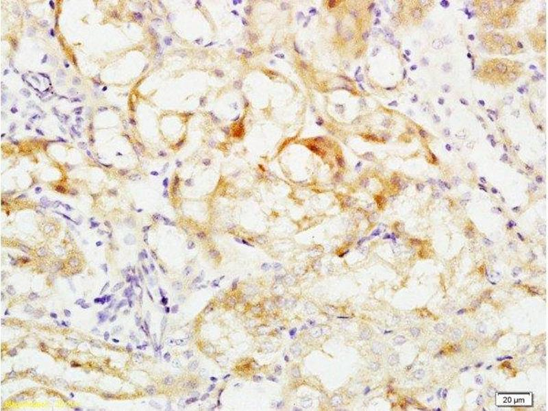 Immunohistochemistry (Paraffin-embedded Sections) (IHC (p)) image for anti-Occludin (OCLN) (AA 480-520) antibody (ABIN687337)