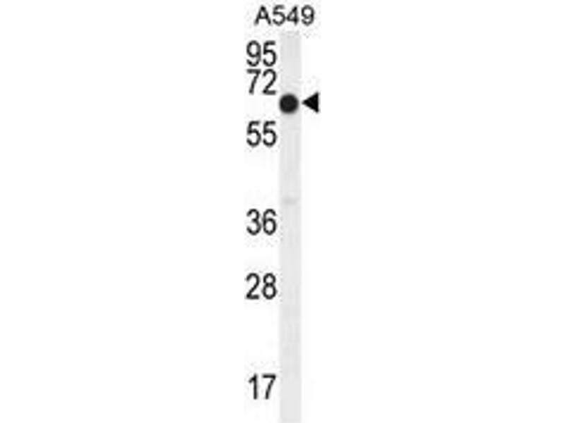 Western Blotting (WB) image for anti-Elongation Factor RNA Polymerase II (ELL) (AA 523-553), (C-Term) antibody (ABIN952063)