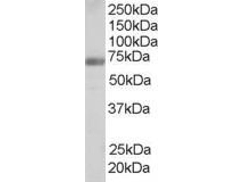 Image no. 2 for anti-Formin Binding Protein 1 (FNBP1) (Internal Region) antibody (ABIN185286)