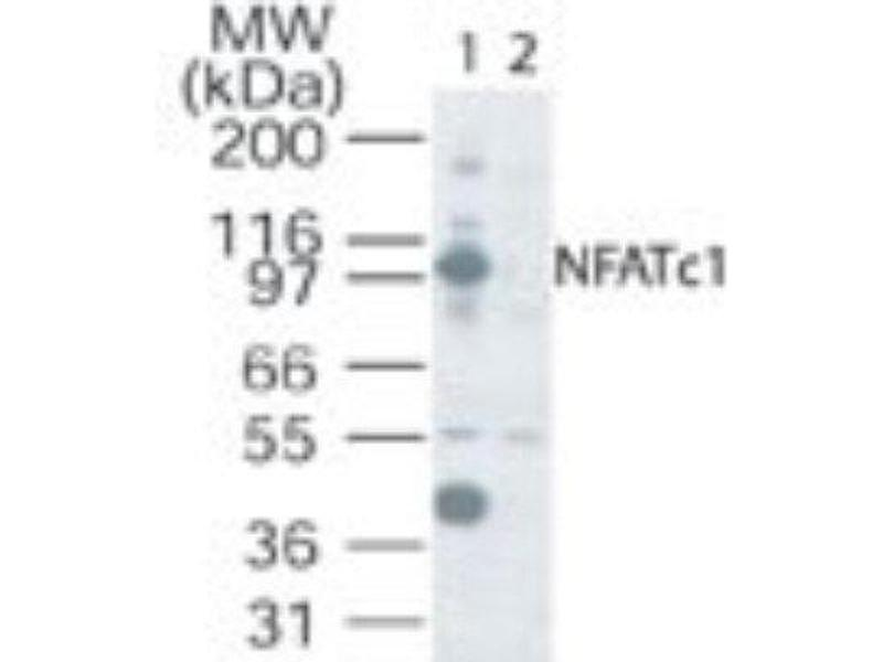 Western Blotting (WB) image for anti-Nuclear Factor of Activated T-Cells, Cytoplasmic, Calcineurin-Dependent 1 (NFATC1) antibody (ABIN4339291)