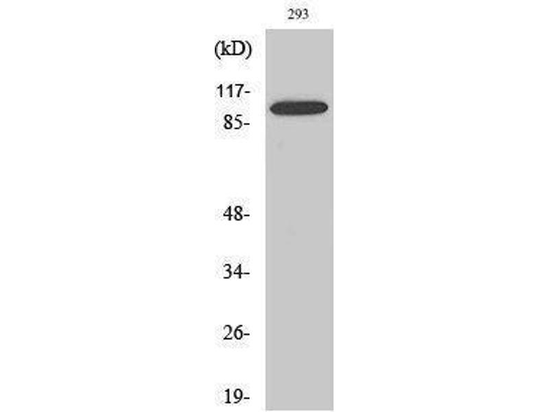 Western Blotting (WB) image for anti-BCL2-Associated Transcription Factor 1 (BCLAF1) (Internal Region) antibody (ABIN3183566)
