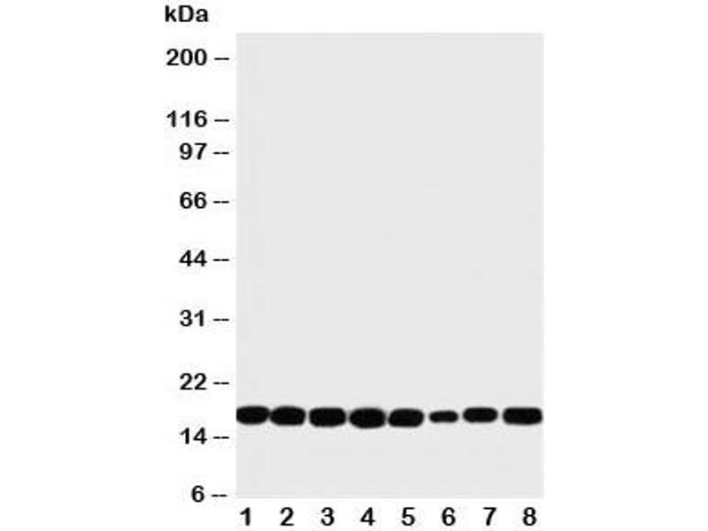 Western Blotting (WB) image for anti-NME1 antibody (Non-Metastatic Cells 1, Protein (NM23A) Expressed in) (C-Term) (ABIN3032024)