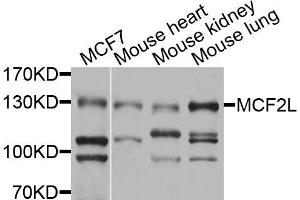 Image no. 1 for anti-MCF.2 Cell Line Derived Transforming Sequence-Like (MCF2L) antibody (ABIN4904323)