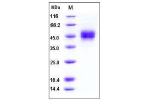 Image no. 1 for MHC Class I Polypeptide-Related Sequence B (MICB) (AA 1-298), (Extracellular Domain) (Active) protein (His tag) (ABIN2003355)