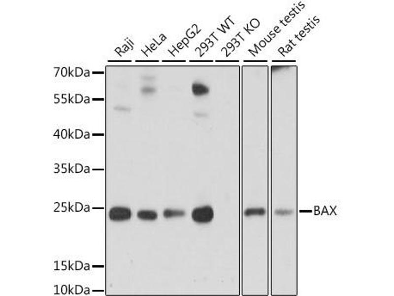 Western Blotting (WB) image for anti-BCL2-Associated X Protein (BAX) antibody (ABIN6137453)