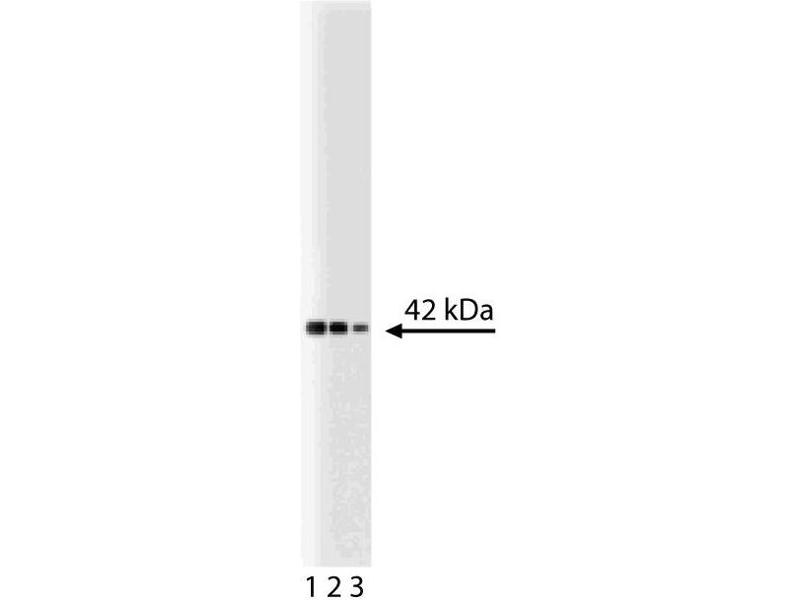 Western Blotting (WB) image for anti-MAPK14 antibody (Mitogen-Activated Protein Kinase 14) (AA 243-355) (ABIN968770)