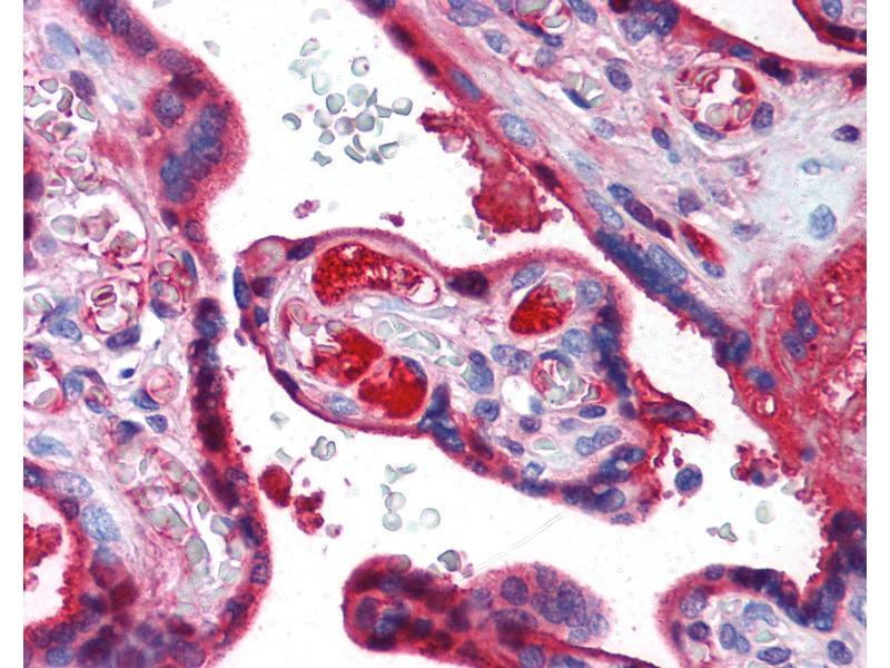 Image no. 2 for anti-Transferrin (TF) (N-Term) antibody (ABIN462368)