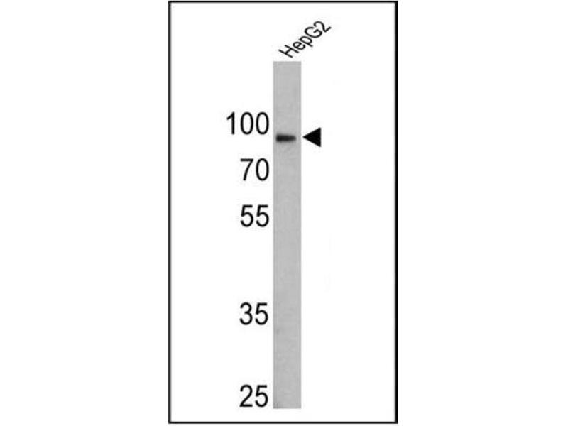 Western Blotting (WB) image for anti-Calnexin (CANX) antibody (ABIN152677)