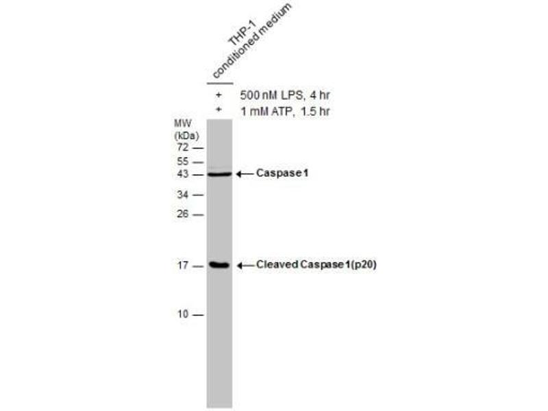 Western Blotting (WB) image for anti-Caspase 1 (CASP1) (Center) antibody (ABIN4288006)