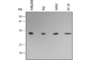 Western Blotting (WB) image for anti-MYD88 antibody (Myeloid Differentiation Primary Response Gene (88)) (AA 1-296) (ABIN4899042)
