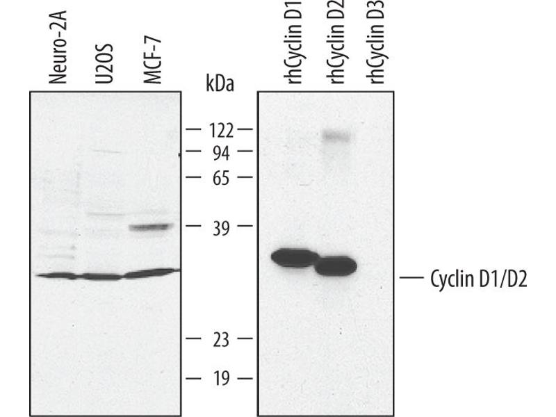 Western Blotting (WB) image for anti-Cyclin D1 (CCND1) (AA 1-295) antibody (ABIN4899040)