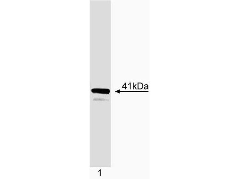Western Blotting (WB) image for anti-Inhibitor of DNA Binding 3, Dominant Negative Helix-Loop-Helix Protein (ID3) antibody (ABIN967547)