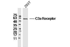 Image no. 1 for anti-Complement Component 3a Receptor 1 (C3AR1) antibody (ABIN682213)