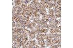 Immunohistochemistry (Paraffin-embedded Sections) (IHC (p)) image for anti-Retinoblastoma Binding Protein 5 (RBBP5) 抗体 (ABIN4349508)