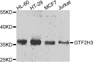 Image no. 3 for anti-General Transcription Factor IIH, Polypeptide 3, 34kD (GTF2H3) antibody (ABIN6570978)