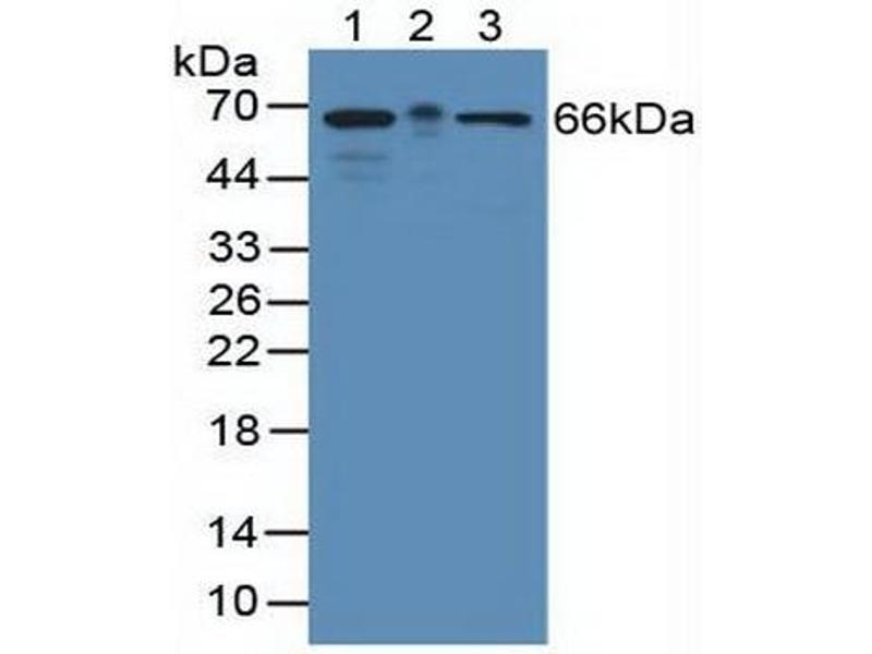 Western Blotting (WB) image for anti-KH Domain Containing, RNA Binding, Signal Transduction Associated 1 (KHDRBS1) (AA 156-381) antibody (ABIN1859527)
