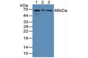 Image no. 2 for anti-KH Domain Containing, RNA Binding, Signal Transduction Associated 1 (KHDRBS1) (AA 156-381) antibody (ABIN1859527)