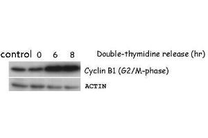 Image no. 1 for anti-Cyclin B1 (CCNB1) (Center) antibody (ABIN2854892)