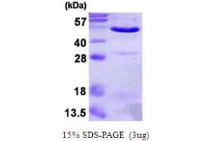Image no. 2 for Annexin A7 (ANXA7) (AA 1-466) protein (His tag) (ABIN667672)