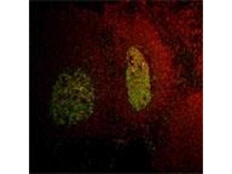 Immunofluorescence (IF) image for anti-LIM Domain Only 2 (Rhombotin-Like 1) (LMO2) antibody (ABIN259552)
