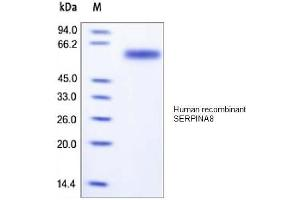 Image no. 1 for Angiotensinogen (serpin Peptidase Inhibitor, Clade A, Member 8) (AGT) protein (His tag) (ABIN1888652)
