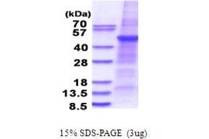 Image no. 1 for Phospholipase A1 Member A (PLA1A) (AA 26-456) protein (His tag) (ABIN5853679)