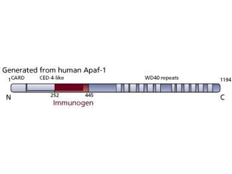 image for anti-Apoptotic Peptidase Activating Factor 1 (APAF1) (AA 252-445) antibody (ABIN968497)