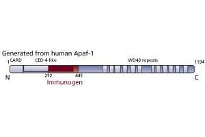 image for anti-APAF1 antibody (Apoptotic Peptidase Activating Factor 1) (AA 252-445) (ABIN968497)