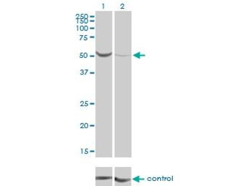Western Blotting (WB) image for anti-Phosphoglucomutase 1 (PGM1) (AA 1-562), (full length) antibody (ABIN562198)